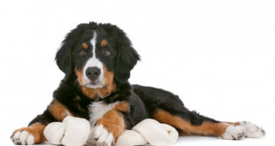 Berner Sennenhund Erziehung