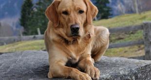 Labrador Erziehung